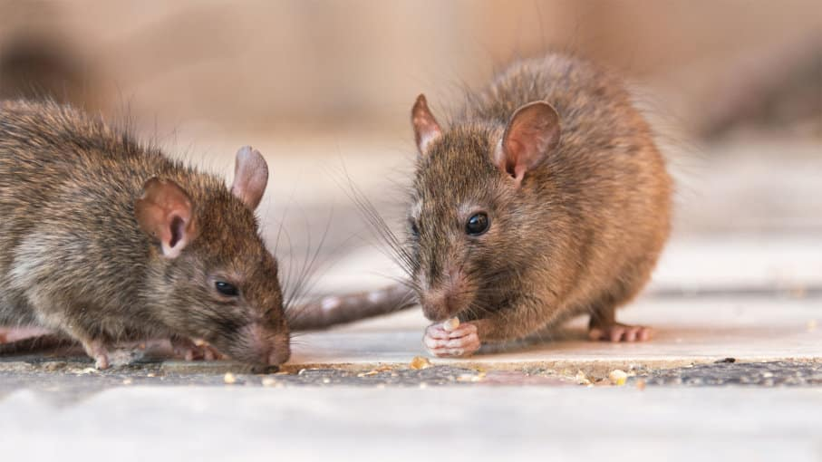 Amidst Coronavirus fear, here comes Hantavirus: Should you be worried?